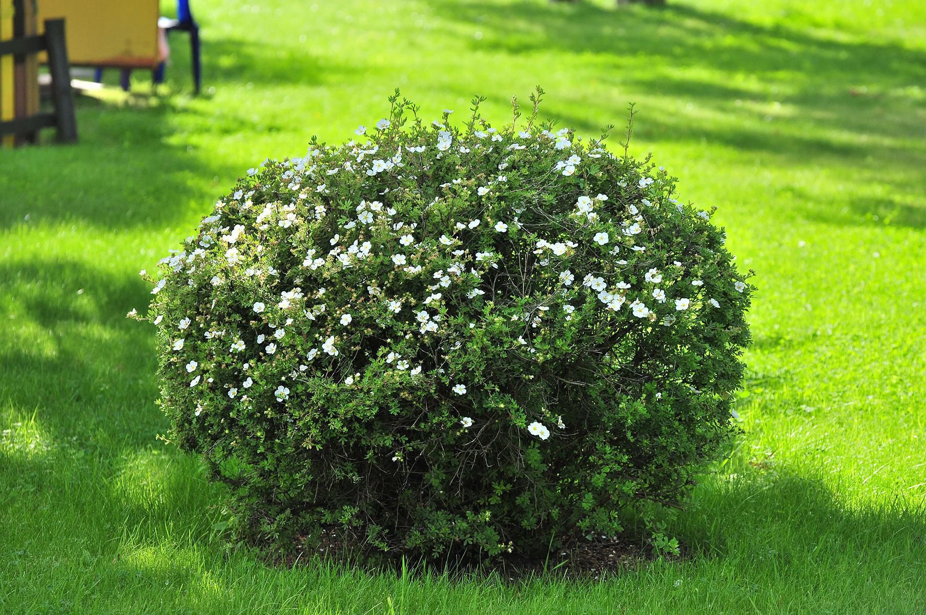 вечнозеленые кустарники для подмосковья