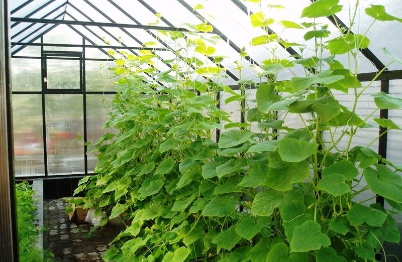 Технология выращивания огурцов в теплице из поликарбоната